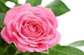 Bunch of pink roses in flowerpot. isolated on white background — Stock Photo