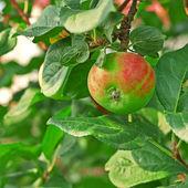Appelboom — Stockfoto