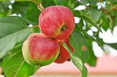 Apple tree — Stockfoto