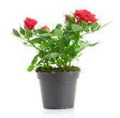 Bouquet de roses roses en pot de fleurs — Photo