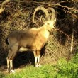 Nubian ibex — Stock Video