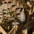 Wasps in the nest — Stock Video #20564969