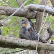 Mandrills — Stock Photo #32080441