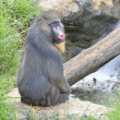 Mandrill — Stock Photo #32080531