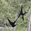Stock Photo: Siamangs