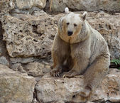 Syrian brown bear — Foto Stock