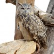 Stock Photo: Adult night owl predator
