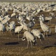 Common Crane — Stock Photo #40354523