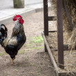Rooster near hay storage — Stock Photo