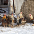 Free range chickens in snow covered farmyard — Stock Photo #50088153