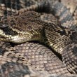 Rattlesnake — Stock Photo #13517409