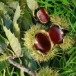 Edible chestnuts background — Stock Photo