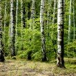 Stock Photo: Green spring forest