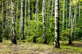 Green spring forest — Stock Photo