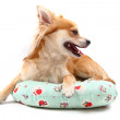 Sweet chihuahua - Stock Photo