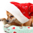 Sweet chihuahua in christmas cap - Stock Photo