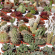 Stock Photo: Cactuses collection