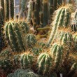 Nice cactuses background — Stock Photo