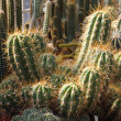 Nice cactuses background - Stock Photo
