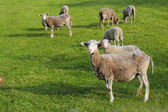 Sheeps in the green grass — Stock Photo