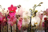 Very nice orchid background — Stock Photo