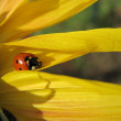 Ladybird on the sunflower — Foto Stock