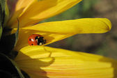 Ladybird on the sunflower — Stock Photo