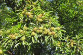 Edible chestnuts — Stock Photo