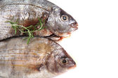 Gilthead seabreams — Stock Photo