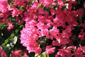 Bougainvillea flower  — Stock Photo