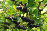 Black rowanberries — Stock Photo