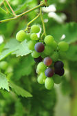 Red and green grapes  — Foto Stock