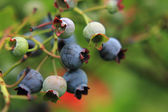 Blueberries in the green nature  — Стоковое фото