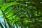 Palm leaves background — Stock Photo