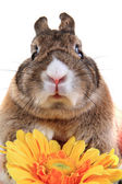 Small brown bunny (pet) with yellow flower  — Stock Photo