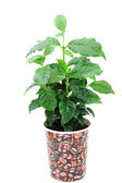 Coffee plant isolated — Stock Photo