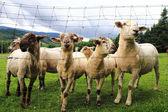 Sheeps in the green grass — ストック写真