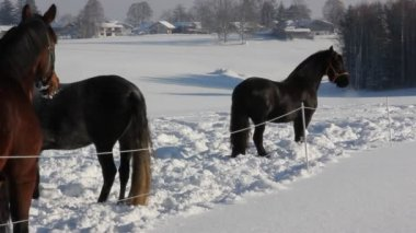 Horses in the snow — Stock Video