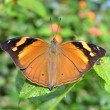 Wild Brown Butterfly — Stock Photo #33430949