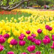 Flower bed of beautiful tulips, during the season of spring — Stock Photo