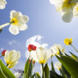Stock Photo: Tulip garden outdoor blue sky sunshine flower bloom blossom