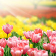 Bed of Multicolored tulips — Foto Stock