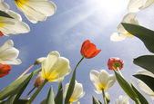 Tulip garden outdoor blue sky sunshine flower bloom blossom — Stockfoto