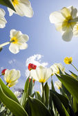 Tulip garden outdoor blue sky sunshine flower bloom blossom — Stock Photo