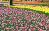 Flower bed of beautiful tulips — Stock Photo