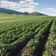 Stock Photo: Farming a Potatoes Field