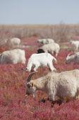 大草原の羊 — ストック写真