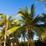 Coconut tree — Stock Photo
