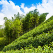 Tea plantations and trees on the hill — Stock Photo