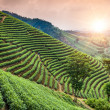 Green tea garden on the hill,china — Stock Photo